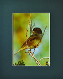 Sparrow Cutie 8X10 Matted Photo Birds Wildlife