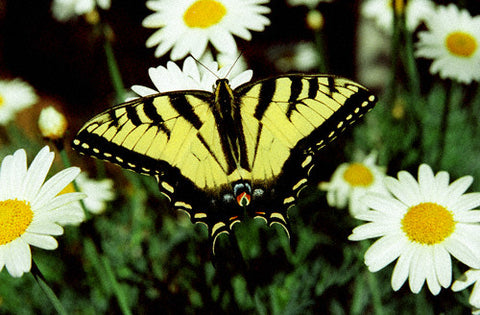 Swallowtail Butterfly 8X10 Matted Photo Butterflies Wildlife Gardens