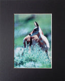 Telescope Eyes 8X10 Matted Photo Yellowstone Wildlife Pronghorn