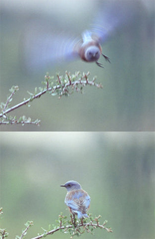The Bluebird Has Landed 8X10 Matted Photo Birds Wildlife