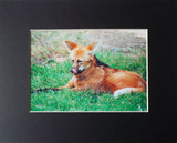Wolf Chops 8X10 Matted Photo Wildlife Maned Wolf