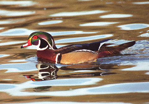 Wood Duck (Full View) 8X10 Matted Photo Water Fowl Birds Wildlife