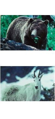 Yellowstone National Park Wildlife Scenic Bookmark #4 Grizzly Bear Mountain Goat Glacier