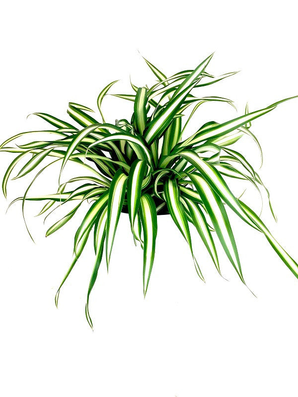 INTENZ HOME Chlorophytum Atlantic