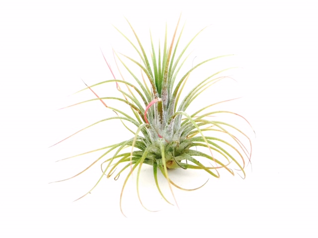 AIRPLANTS Ionantha