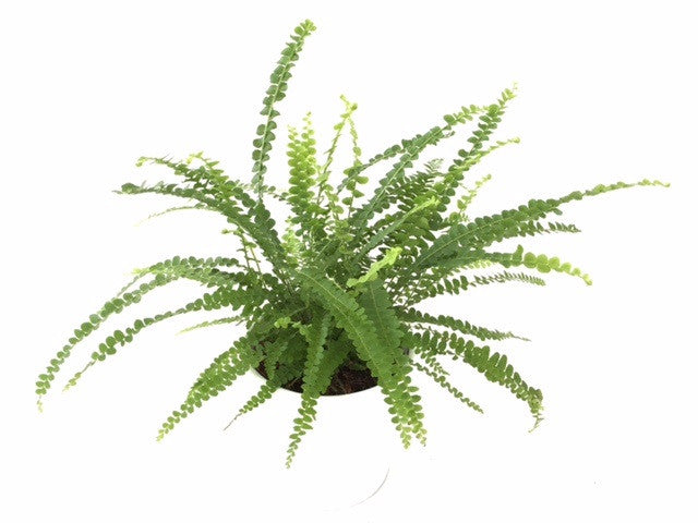 INTENZ HOME Nephrolepis Duffii