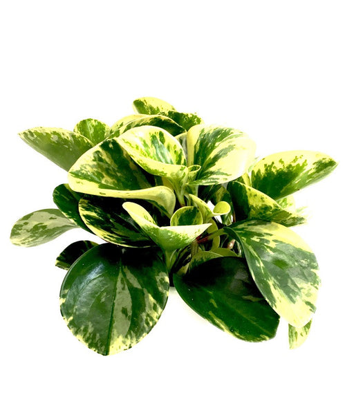 INTENZ HOME Peperomia Green Gold