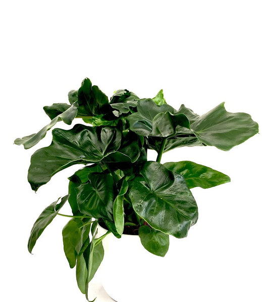 INTENZ HOME Philondendron Atom
