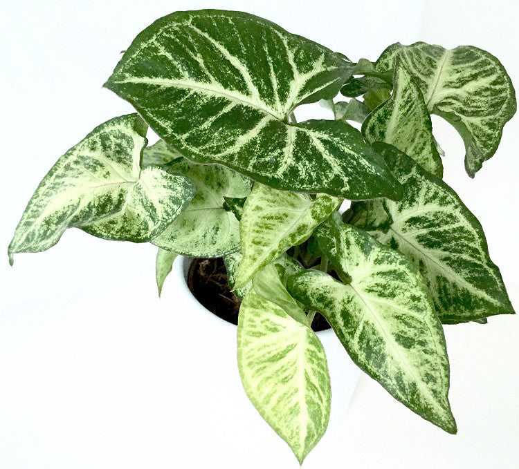 INTENZ HOME Syngonium Pixie Arrow