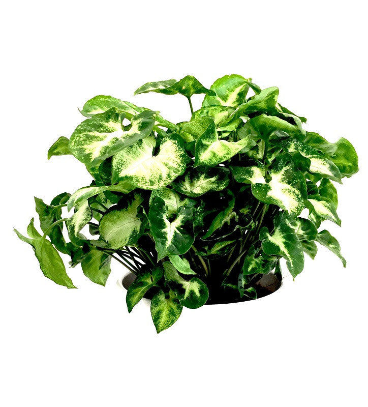 INTENZ HOME Syngonium Pixie