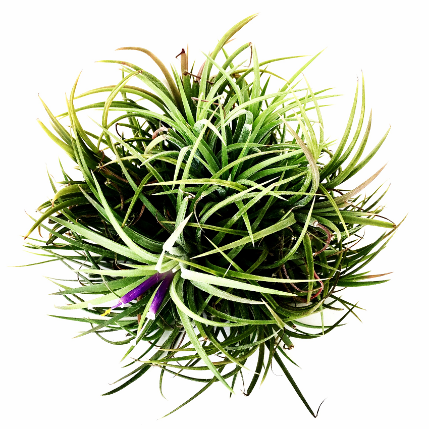 AIRPLANTS Clumbs