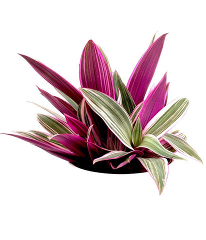 INTENZ HOME Tradescantia Purple Flame