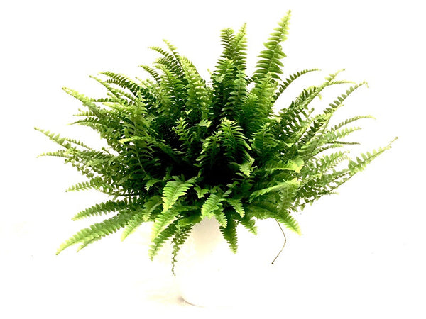 VARENS Nephrolepis Green Lady