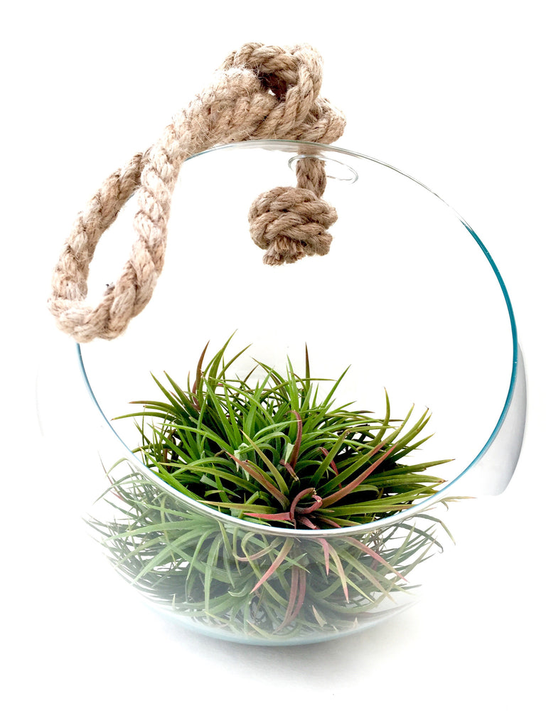 AIRPLANTS Glass Bubble