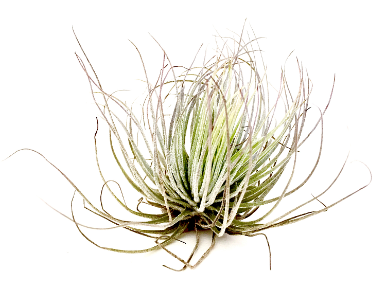 AIRPLANTS Magnusiana