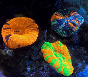 SALE this weekend! Scolys, Maxima Clams, & More!