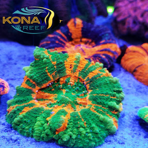 🐡MASSIVE Selection at Kona Reef! Fish, Corals, and Frags, OH MY! 🐠