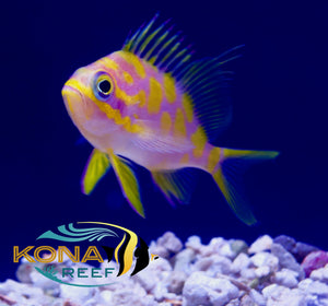 Fowleri Tang, Blotched Anthias, Red Angler...