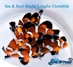 Crazy Mocha LONGFIN Clownfish & more in this week!