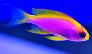 Rare Fish: VENTRALIS ANTHIAS!