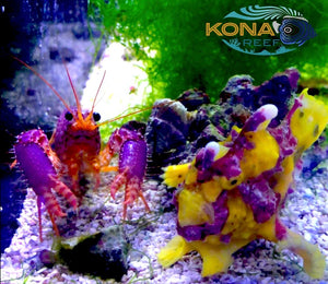 LAST CHANCE BEFORE XMAS! FISH, CORALS, FRAGS GALORE!!