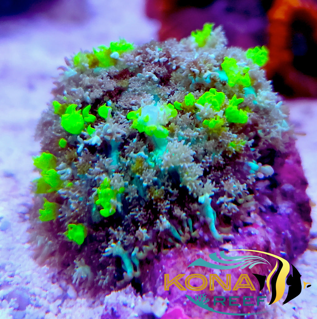 Bounce Mushrooms, Elegance Corals, Rainbow Acans, and more!