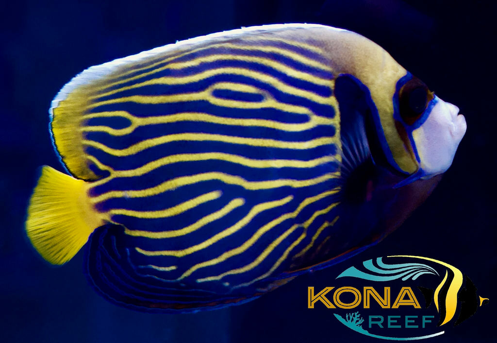 Emergency Overstock Sale! 25% Off All Saltwater Fish this week Only!
