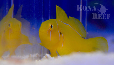 Lemon (Citron) Clown Goby