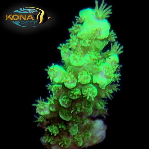 Highlighter Acropora Frag