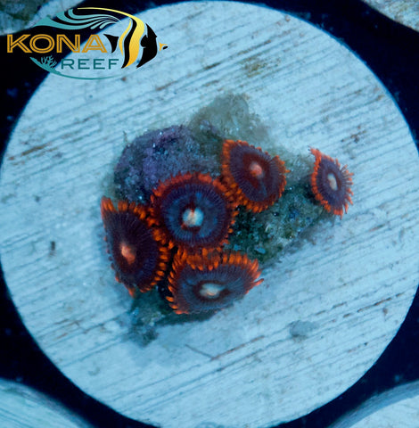 Fire and Ice Zoanthid Frag