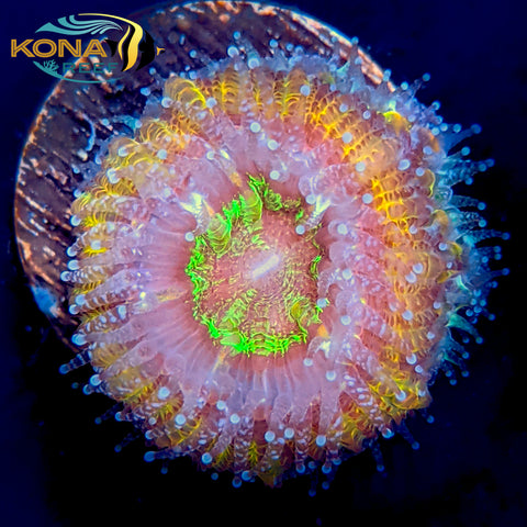 "Purple and Gold Rainbow ""Acan"" Micromussa Lordhowensis Frag"