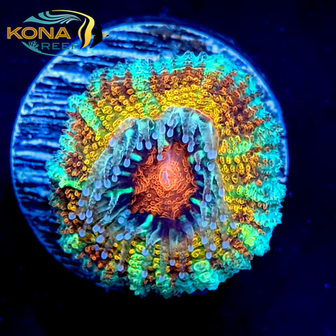 "Red Eye Rainbow ""Acan"" Micromussa Lordhowensis Frag"