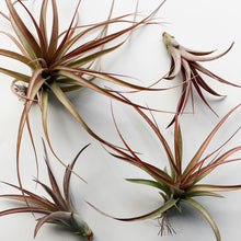 Load image into Gallery viewer, Tillandsia 'Jackie Loinaz'