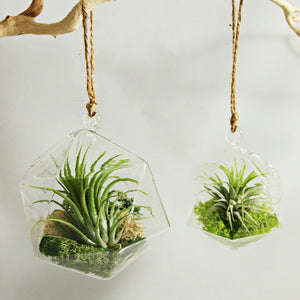 Medium Geometric Air Plant Aerium