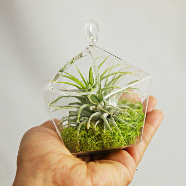 Small Geometric Air Plant Aerium