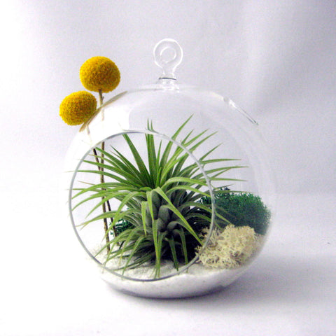 Tillandsia Billy Buttons // Air Plant Terrarium