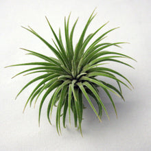 Load image into Gallery viewer, Single Ionantha Air Plant // Small to Medium