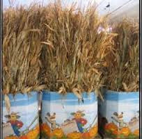 BUNCHED CORN STALKS 10CT