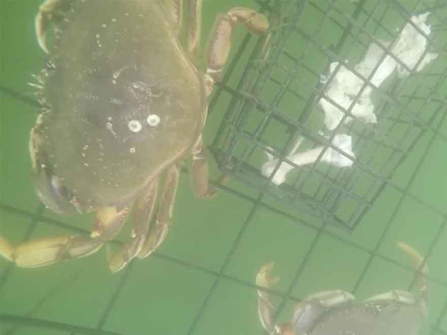 Crab Trapping With the Underwater WiFi Cable and GoPro HERO4 Silver