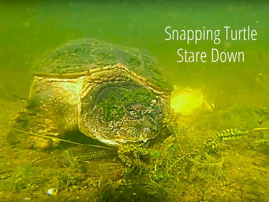 Snapping Turtle Stares Down GoPro Camera