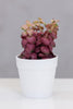 Du Pot bonsai w/pot - Senecio Wine - Casa Febus - Home • Design