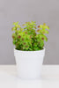 Du Pot bonsai w/pot - Senecio Green - Casa Febus - Home • Design