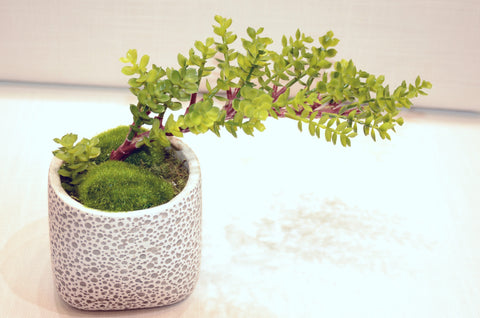 Du Pot Bonsai A