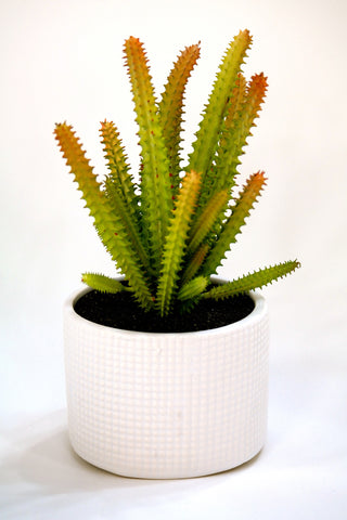 "Du Pot Cactus A in White Pot 8""H"