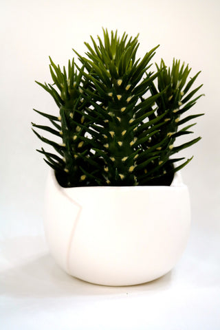 "Du Pot Cactus D in White Pot 11""H"