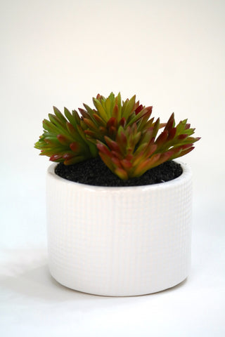 "Du Pot Cactus B in White Pot 6""H"
