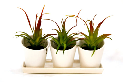 Du Pot Set of 3 Cactus - A  in White Pots