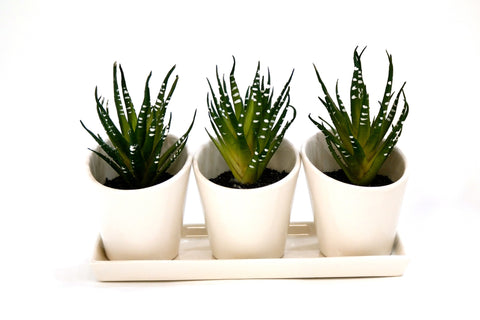 Du Pot Set of 3 Cactus - D  in White Pots