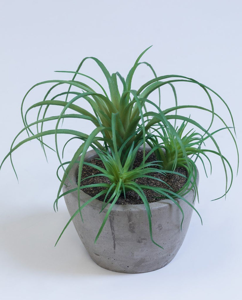"9"" Air Plant on Pot - Cacti Collection - Casa Febus - Home • Design"