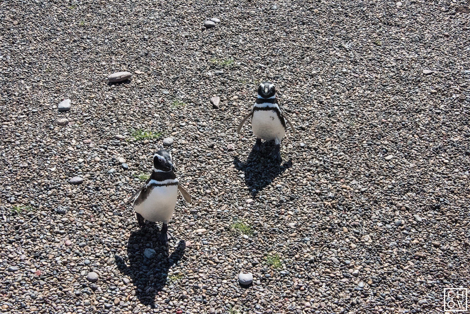 Magellanic Penguin Migration, Punta Tombo